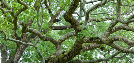 Contact us for the best oak wilt treatment.